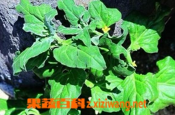 果蔬百科番杏
